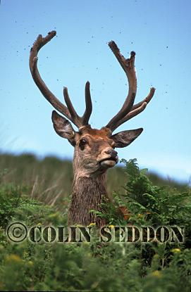 Red Deer (Cervus elaphus) stag in velvet with flies, Scotland, UK