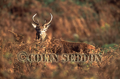 Red Deer (Cervus elaphus) stag inblacken, Scotland, UK