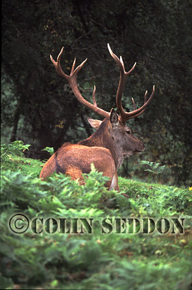 Red Deer (Cervus elaphus) stag, Scotland, UK