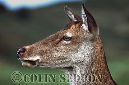 Red Deer (Cervus elaphus) hind, Scotland, UK