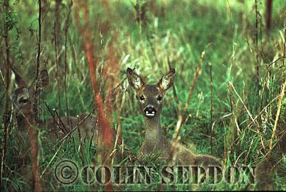 Roe Deer (Capreolus capreolus) kid, Somerset, UK