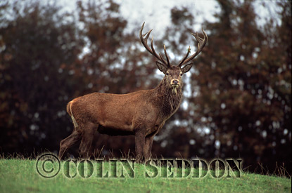 Red Deer (Cervus elaphus) stag at rut, Somerset, UK