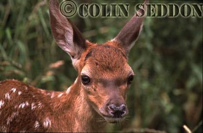 Red Deer (Cervus elaphus) 3 weeks old calf, Somerset, UK