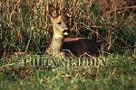 Roe Deer (Capreolus capreolus), Somerset, UK