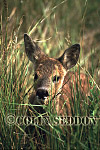 Roe Deer (Capreolus capreolus) kid, Somerset, UK