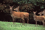 Red Deer (Cervus elaphus) hind and calf, Exmoor, UK