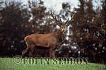 Red Deer (Cervus elaphus) stag at rut, Somerset, UK