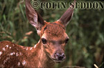 Red Deer (Cervus elaphus) 3 weeks old calf, Somerset, UK