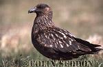 Great Skua (Stercorarius skua), Shetland Islands