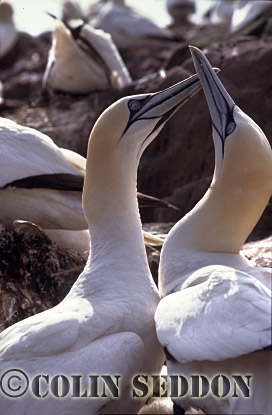 Gannets (Sula bassana) displaying, Bass rock, Scotland, UK