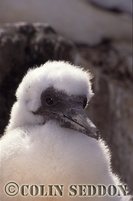 Gannet Chick (Sula bassana), Bass rock, Scotland, UK