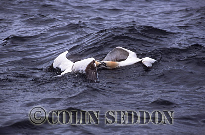 Gannets (Sula bassana) fighting in sea, Bass rock, Scotland, UK