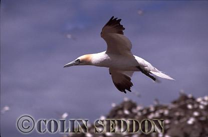 Gannet (Sula bassana) flying, Bass rock, Scotland, UK