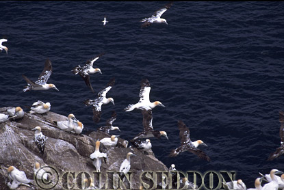 Gannet Colony (Sula bassana), Bass rock, Scotland, UK