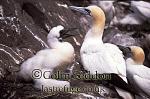 Gannet with Chick (Sula bassana), Bass rock, Scotland, UK