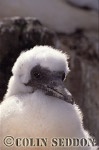 Gannet Chick (Sula bassana), Bass rock, Scotland, UK