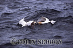 Gannets (Sula bassana) fighting in sea, Bass rock, Scotland, UK