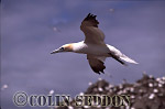 Gannet (Sula bassana) flying, Bass rock, Scotland, UK