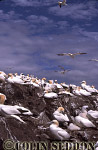 Gannet Colony (Sula bassana), Bass rock, Scotland, UK