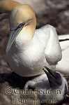 Gannet with Chick (Sula bassana), Bass rock, Scotland, UK
