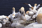 Gannet with Chick in Colony (Sula bassana), Bass rock, Scotland, UK