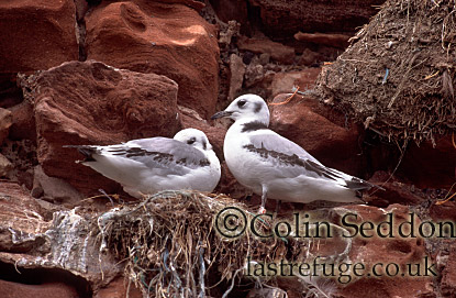 Kittiwake Chicks (Rissa tridactyla), Shetland Islands