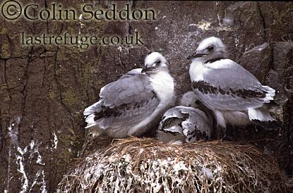 Kittiwake Chicks (Rissa tridactyla), Shetland Islands