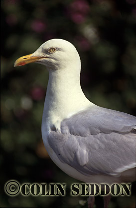 Herring Gull (Larus argentatus), Shetland Islands