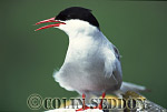 Arctic Tern (Sterna paradisaea) in Summer, Northumberland, UK
