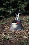 Arctic Tern on nest (Sterna paradisaea) in Summer, Northumberland, UK