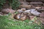 Eider, female on nest (Somateria mollissima), Shetland Islands