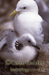 Kittiwake with Chick (Rissa tridactyla), Shetland Islands