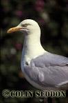 Herring Gull (Larus argentatus), Shetland Islands