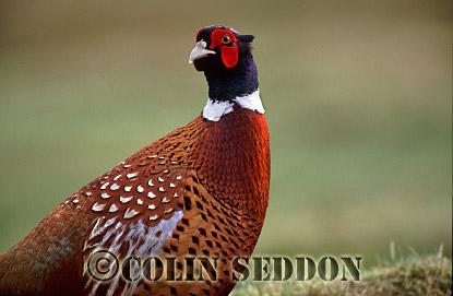 Common Pheasant (Phasianus colchicus), Scotland, UK