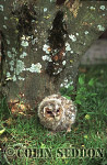 Tawny Owlet (Strix aluco), Somerset, UK