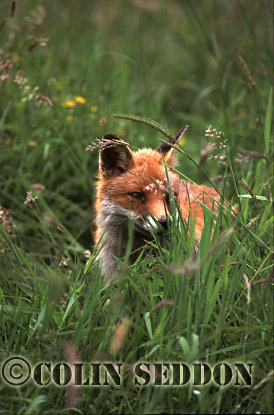 Red Fox (Vulpes vulpes), Somerset, UK