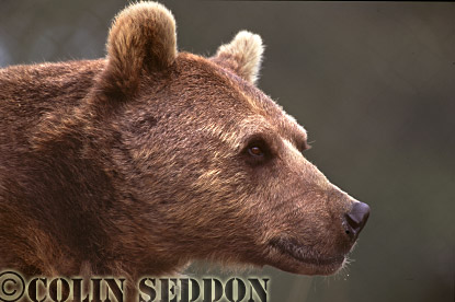 Brown Bear (Ursus arctos), Scotland, UK