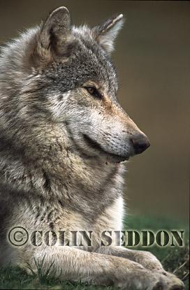 European Gray Wolf (Canis lupus), captive in Scotland, UK