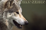 European Gray Wolf (Canis lupus), captive in Scotland, UK