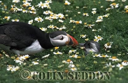 Puffin feeding Chick (Fratercular arctica), Farne Island, England, UK