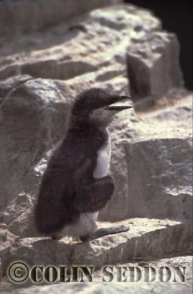 Guillemot Chick (Uria aalge) in Summer, Farne Islands, England, UK