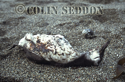 Guillemot dead on beach with oil coverage (Uria aalge) in Summer, Farne Islands, England, UK