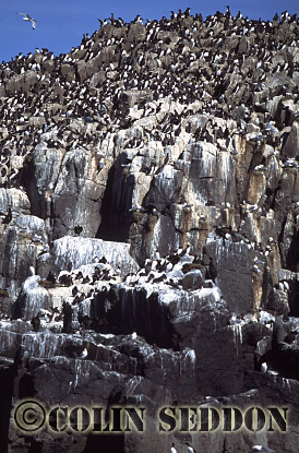 Guillemot Colony (Uria aalge) in Summer, Northumberland, England, UK