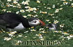 Puffin feeding Chick (Fratercular arctica), Farne Island, England, UK