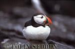 Puffin (Fratercular arctica), Farne Island, England, UK