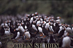 Puffin Colony (Fratercular arctica), Farne Island, England, UK