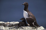 Guillemot with Chick (Uria aalge) in Summer, Farne Islands, England, UK