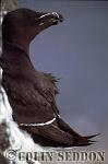 Razorbill (Alca torda), Northumberland, UK