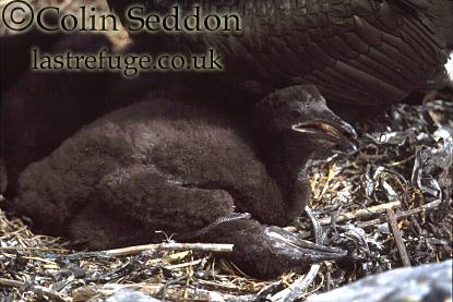 Shag Chick (Phalacrocorax aristotelis), Northumberland, England