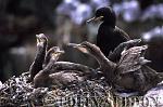 Shag Chicks (Phalacrocorax aristotelis), Northumberland, England